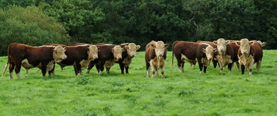 Yearling bulls by Mara Triumph and Badlingham Beresford